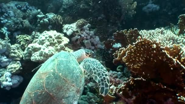 Giant Hawksbill sea turtle Eretmochelys imbricata in pure transparent water.