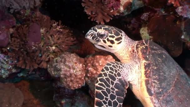 Head Giant reptile Hawksbill sea turtle Eretmochelys imbricata in Red sea.