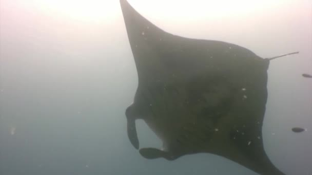 Giant Manta ray ramp fish on background of sun reflection underwater Maldives.