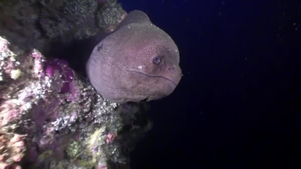 Black Moray eel in search of food underwater on seabed in Maldives.