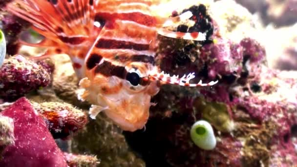 Scorpion fish lionfish red underwater on background of seabed in Maldives.