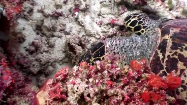 Tengeri teknős, a tiszta, tiszta víz alatti tengerfenék eszik coral Maldív-szigetek.