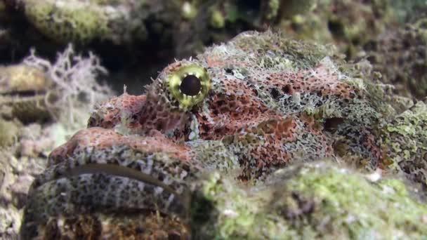 Stonefish Bearded scorpionfish scorpaenopsis barbata very poisonous underwater.