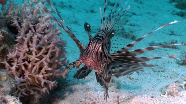 Poissons venimeux rayé commun rascasse volante Pterois volitans sur fond de  mer rouge.