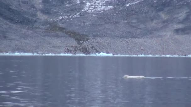 White Polar Bear swims to a dead whale in water of Svalbard.