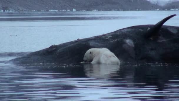 White sea bear eats dead whale in water of Svalbard.