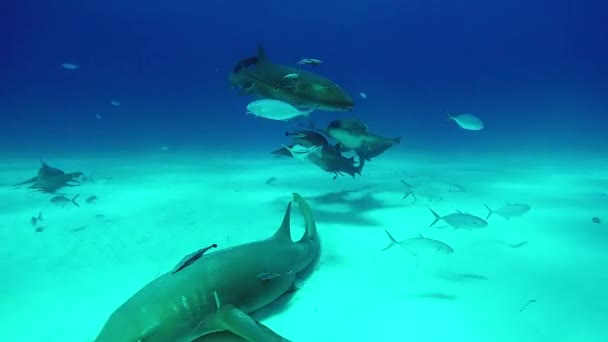 A Bull Shark víz alatti csoport sand Beach tigris Bahama-szigetek.