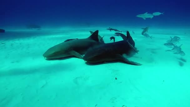 Bull Shark with divers underwater on sand of Tiger Beach Bahamas.