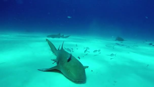 Gray Bull Shark with divers underwater on sand of Tiger Beach Bahamas.