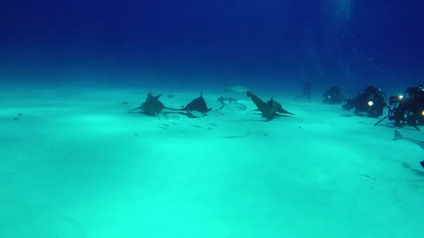 Bull Shark with divers underwater on sand of Bahamas.