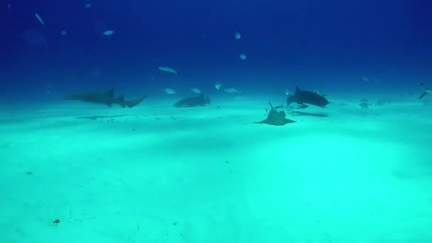 Bull Shark with divers underwater on sandbed of Tiger Beach Bahamas.