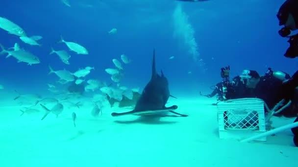 Hammerhead Shark és víz alatti búvárok, homokos alján tigris Beach Bahama-szigetek.