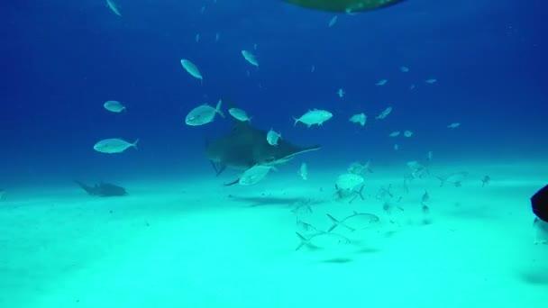 Hammerhead Shark feeding underwater.