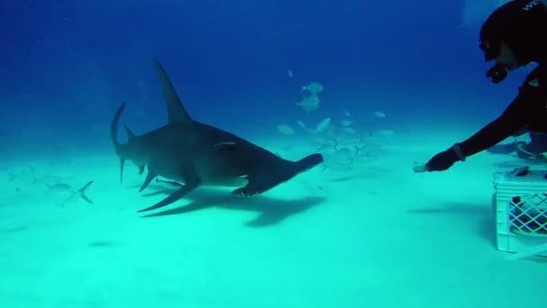 Shark Hammerhead eats from the hands of a diver underwater in Bahamas.