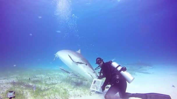Bika cápa, a víz alatti búvárok, a homokos strand tigris Bahama-szigetek.