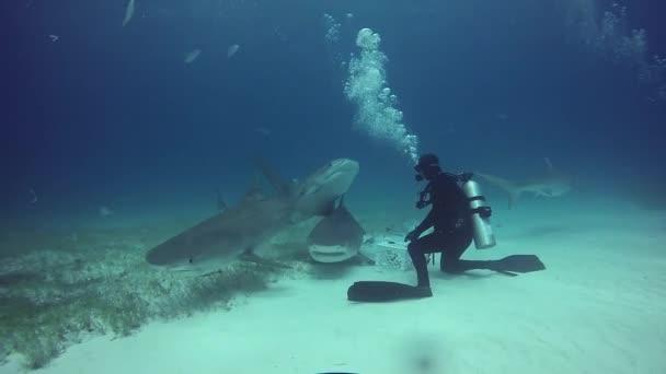Nagy Bull Shark, a víz alatti búvárok, homokos alján tigris Beach Bahama-szigetek.