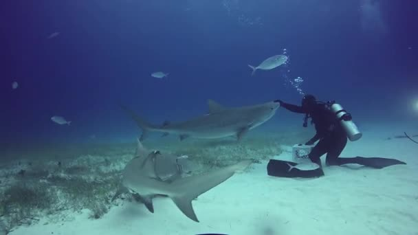 Big Gray Reef Shark with divers underwater on sandy bottom of Tiger Beach Bahamas.