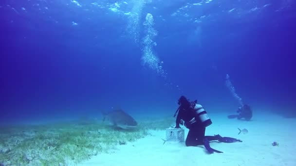 Bull Sharks feeding underwater on sandy bottom of Tiger Beach Bahamas.