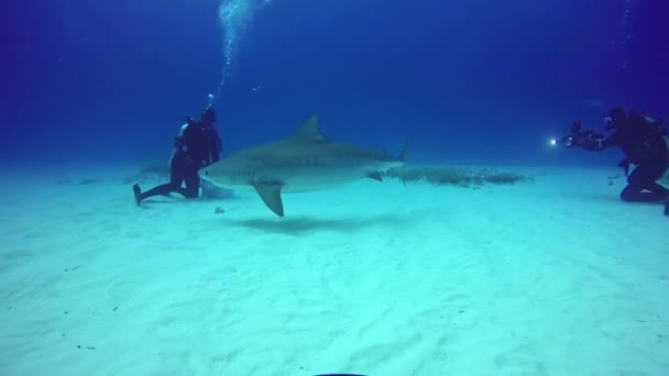 Bika cápa etetés víz alatti homokos alján tigris Beach Bahama-szigetek.