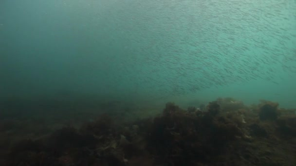 Herring eastern underwater school of fish in Barents Sea of Russia.