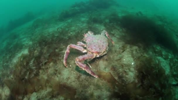 Giant king crab underwater on seabed Barents Sea in Russia.