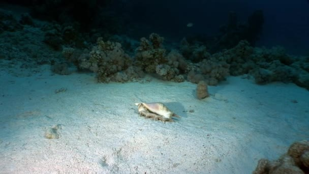 Seashell Strombes Lambis on sandy bottom underwater Red sea.