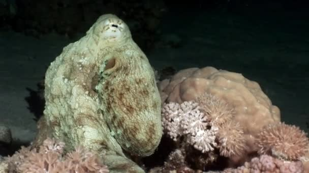 White octopus Aeginae and disguised on sandy bottom underwater Red sea.