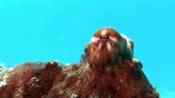 Octopus on a blue background underwater Red sea.
