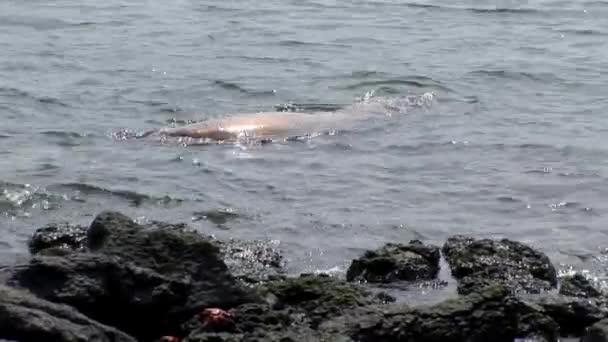 Seal relax in water near beach Galapagos.