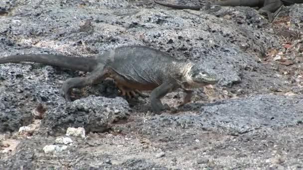 Huge Iguana on rocky coast of Galapagos Islands.