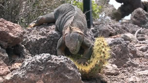 Huge Iguana eating cactus on rocky coast of Galapagos Islands.