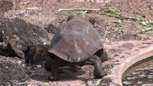 Turtle on Galapagos.