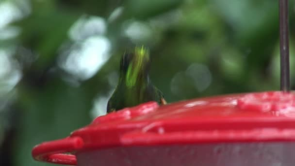 Kiwi bird drinks nectar on Galapagos Islands.
