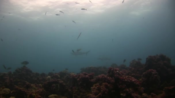 Galapagos Shark near diver underwater on seabed.