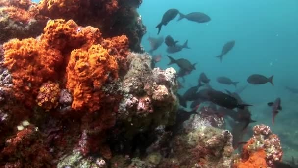 School of fish underwater in Galapagos.