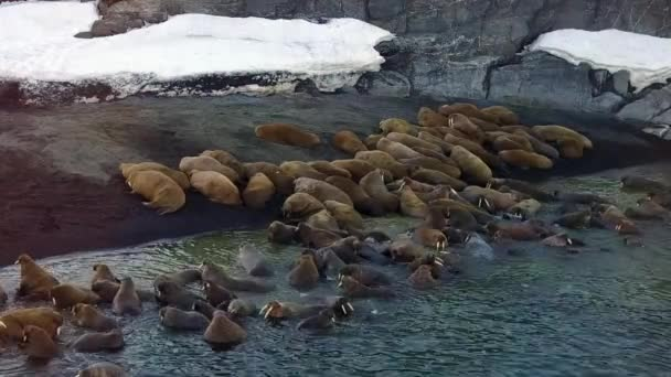 Walruses on shores of Arctic Ocean aero view on New Earth Vaigach Island.