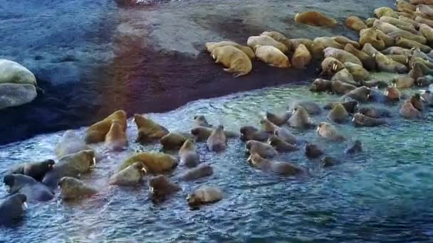 Walruses on shores of Arctic Ocean aero view on New Earth Russian North.