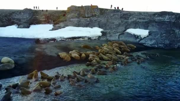 Walruses and people environmentalists on coast of Arctic Ocean copter aero view.