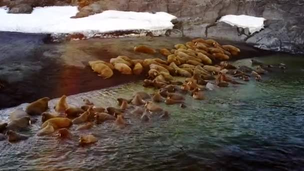 Feeding base of walruses aero view on New Earth Vaigach Island.