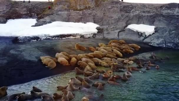 Walruses on shores of Arctic Ocean unique video aero view on New Earth.
