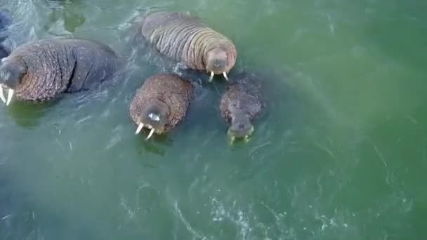 Relax of walruses on fodder base of Arctic Ocean copter aero view on New Earth.