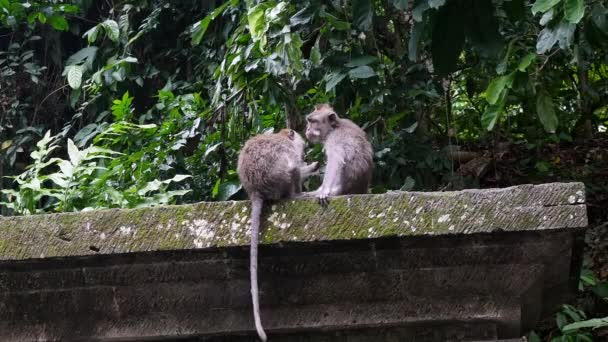 Monkey catches fleas from his friend in rain forest of Bali.