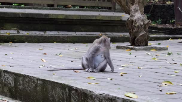 Monkey sitting and eating leaves in Bali.