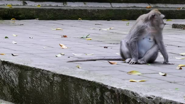 Monkey eating leaves in Bali.