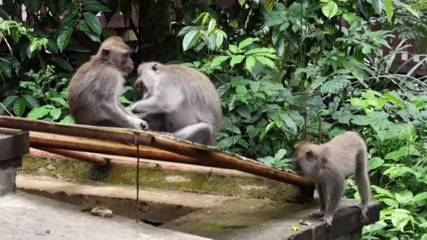 Monkey baby with adult animals in Bali.