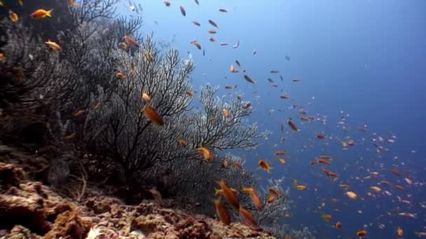 School of bright yellow orange fish underwater on background of seabed Maldives.