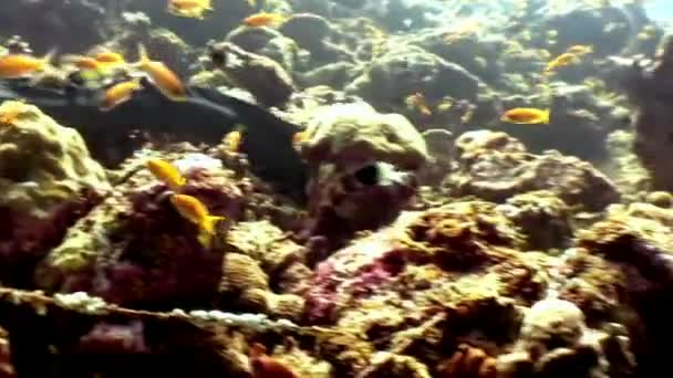 Moray eel underwater on coral reef seabed in Maldives.