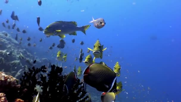 School of striped fish and lucian underwater on seabed in Maldives.