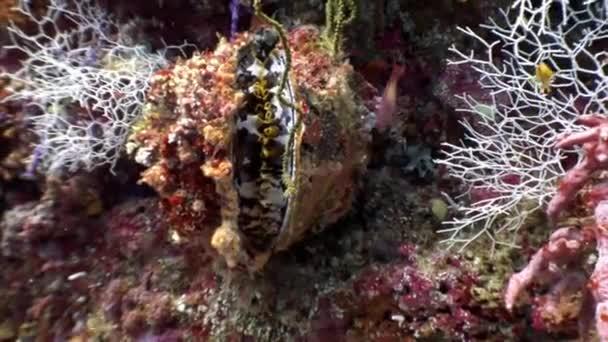 Tridacne bivalve mollusks underwater on background amazing seabed in Maldives.
