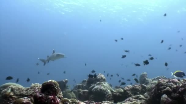 Reef shark underwater on background of amazing coral in seabed Maldives.